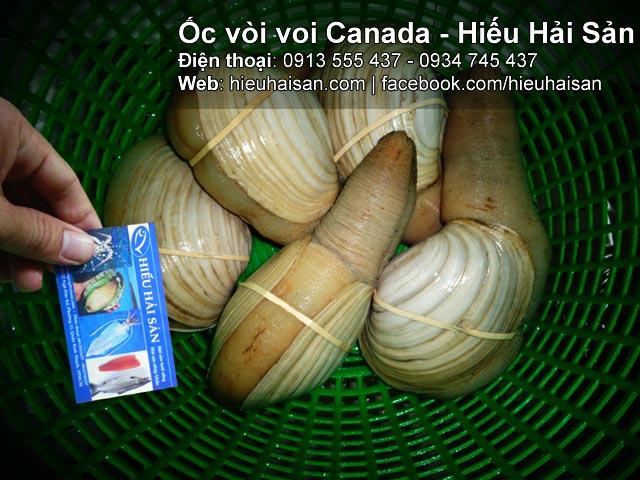 Ốc vòi voi Canada