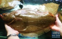 Cá Thờn Bơn sống