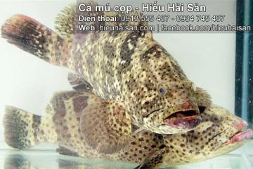 Cá mú cọp