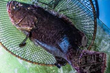 Cá mú bông - Cá mú nghệ - Giá 1kg bao nhiêu tiền